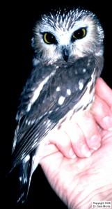 Pygmy Owl
