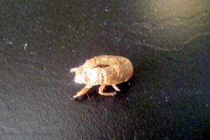 The cicadas are out and making a horrible racket and leaving these shells around all over the place.